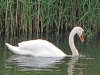 Swan on Clear Lake